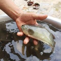 Ninh Bình: Thu 200 triệu/năm nhờ cá rô