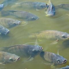 Dầu đậu nành cải thiện tốc độ tăng trưởng và trọng lượng cá rô phi