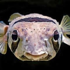 Cá có uống nước không?