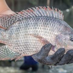 Điều chỉnh protein và năng lượng trong chế độ ăn của cá rô phi