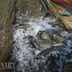 Nuôi cá lồng bè làm giàu trong lòng thủy điện Sơn La