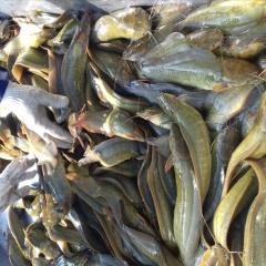 Hậu Giang: Mô hình nuôi cá trê vàng đem lại thu nhập cao