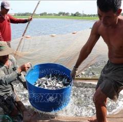 Điêu đứng vì cá tra bột