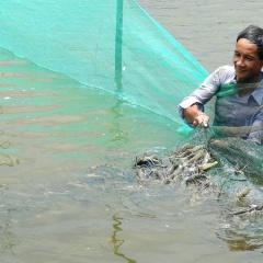 Bến Tre: Đẩy mạnh nuôi tôm càng xanh