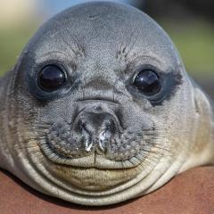 Ngư dân cứu cá thể hải cẩu dạt vào bờ biển