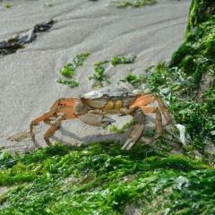 Sản xuất sợi bằng vỏ cua ghẹ và hợp chất từ rong biển