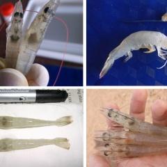 Loại bỏ bệnh hoại tử gan tụy cấp bằng hệ sợi nấm
