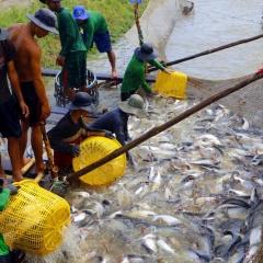 Cần Thơ: Giá cá tra xuống thấp, người nuôi không có lợi nhuận