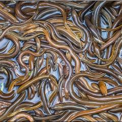 Natri butyrate giúp giảm tổn thương ruột ở lươn đồng