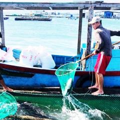 Sản xuất giống và nuôi thương phẩm cá bớp, cá hồng Mỹ: Hiệu quả bước đầu
