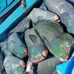 Ngư dân Phú Quý có đánh bắt phải loại cá hiếm?