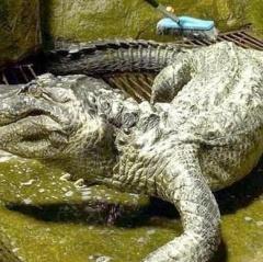 """""""Cá sấu cưng"""" của Hitler chết vì tuổi già"""