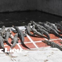Cá sấu rớt giá, người nuôi khóc ròng