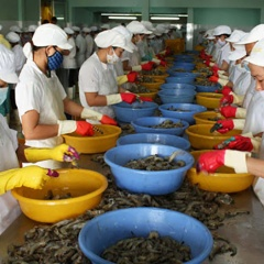Tôm nguyên liệu chỉ đáp ứng tối đa 70% cho nhu cầu chế biến, xuất khẩu