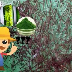 Tảo tươi hay tảo bột thì tốt hơn cho tôm giống?