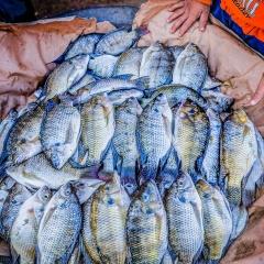 Phòng bệnh cho đàn cá rô phi mùa nắng nóng