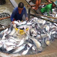 Kiểm soát an toàn thực phẩm cá da trơn xuất khẩu sang Hoa Kỳ
