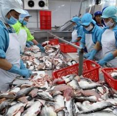 Giá cá tra chạm đáy, nông dân lỗ 5.000 đồng/kg