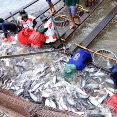 Giá cá tra cứ thấp mãi, người nuôi khóc ròng