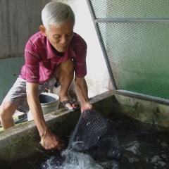 Ương cá trê vàng trong hồ dã chiến, mỗi năm bán 1 tỷ con