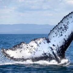 Bạn có biết cá voi vung đuôi lên xuống, còn cá mập thì vung đuôi sang hai bên?