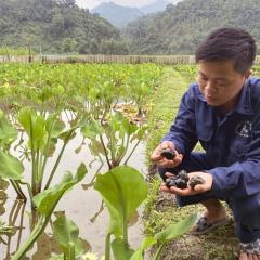 Quyết chuyển đất lúa sang nuôi ốc, thu hàng trăm triệu đồng