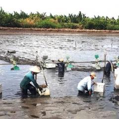 Triển vọng nuôi tôm ở vùng U Minh Thượng