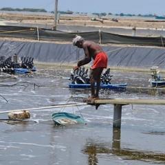 Ấn Độ đối mặt với nguy cơ do sản xuất tôm dư thừa