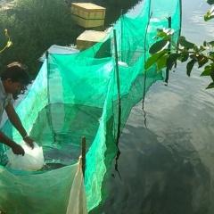 Nâng cao hiệu quả trong ương cá dìa từ cỡ hạt dưa lên cá giống