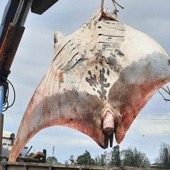 Ngư dân bắt được cá đuối siêu to khổng lồ nặng 800kg
