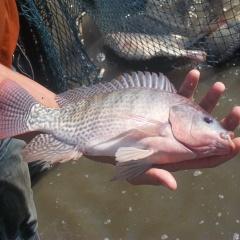 Ứng dụng men vi sinh để tăng tốc độ tăng trưởng cho cá rô phi