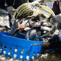 Lá ổi – Cây nhà lá vườn giúp cá giải độc thuốc trừ sâu