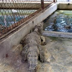 Trại cá sấu lớn nhất miền Bắc thiệt hại gần 200 triệu/tháng