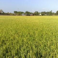 Phát triển sản xuất cánh đồng lớn tôm-lúa tại Kiên Giang