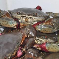 Giá cua biển tăng trở lại, 1ha thu về hơn 100triệu