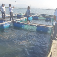 Triển vọng mô hình nuôi cá bớp