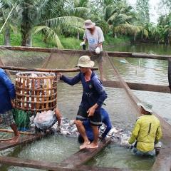 Cần Thơ: Người nuôi cá tra lỗ từ 5.000 – 6.500 đồng/kg