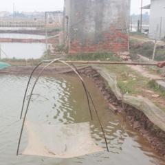 Thái Bình: Dịch đốm trắng hoành hành gây thiệt hại lớn
