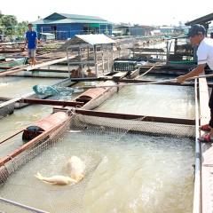 Đồng Nai tìm nguyên nhân cá bè chết bất thường