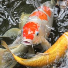 Hai thanh niên trộm đàn cá Koi gần trăm triệu đồng, nấu làm mồi nhậu