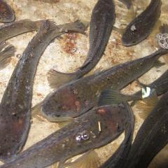 5 thảo dược dân dã kháng nấm trên cá lóc