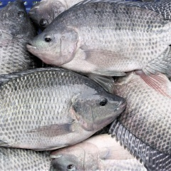 Được miễn thuế, Mỹ đẩy mạnh nhập khẩu cá rô phi