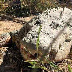 Cụ cá sấu 100 tuổi, nặng hơn một tấn chết già