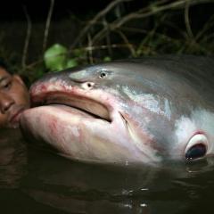 Cá nước ngọt khổng lồ bên bờ tuyệt chủng