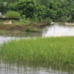 Lúa thơm, cá sạch: Mô hình độc đáo ở Thủ đô