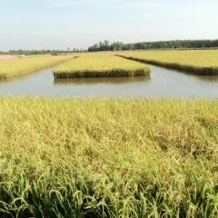 Phát triển bền vững mô hình lúa - tôm và ứng dụng mô hình nuôi tôm công nghệ cao