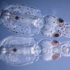 Biến đổi gene để loài mực mất sắc tố đen, gần như trong suốt