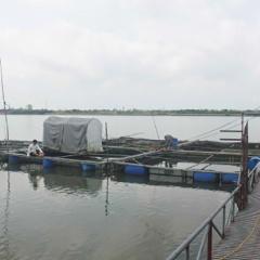 Nuôi cá lồng trên sông thu lãi hơn 200 triệu đồng/năm