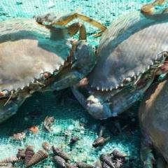 Hàng nghìn hộ dân thu nhập cao từ nuôi cua biển