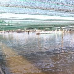 Quảng Trị: Nông nghiệp công nghệ cao-nuôi ốc hương trong nhà, thu 10 tỷ mỗi năm